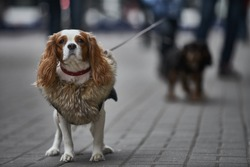 Small dog goes for a walk. cavalier dog