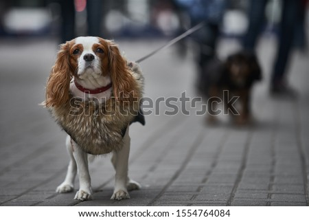 Small dog goes for a walk. cavalier dog Foto stock ©