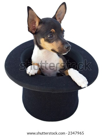 small dog  in a magician hat a over white background