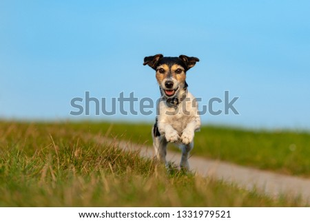 small  dog is running and flies over a green meadow in sommer in front of blue sky - Jack Russell Terrier Hound 9 years old #1331979521