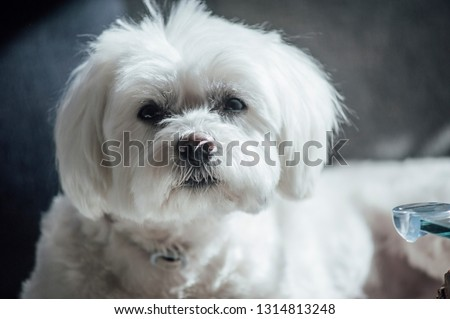 Small dog maltese , in the autumn forest