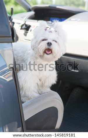 Small dog maltese sitting in a car with open doors