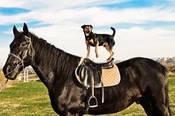 small dog ride a black horse, sunny autumn day