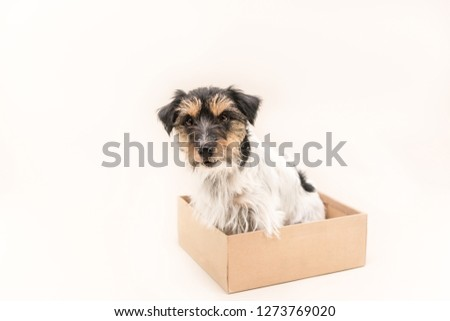 small dog sits obediently in a cardboard box. ready for mailing. Cute Jack Russell Terrier doggy 4 years old - hair style rough  #1273769020