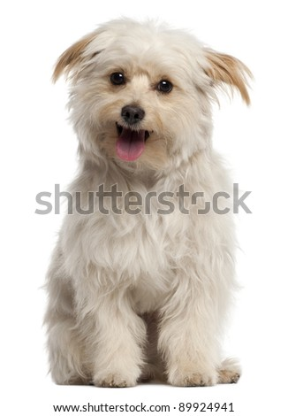 Small dog sitting and panting in front of white background