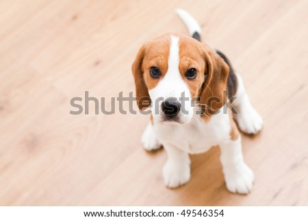 Small dog sitting on the wooden floor. Beagle puppy - stock photo