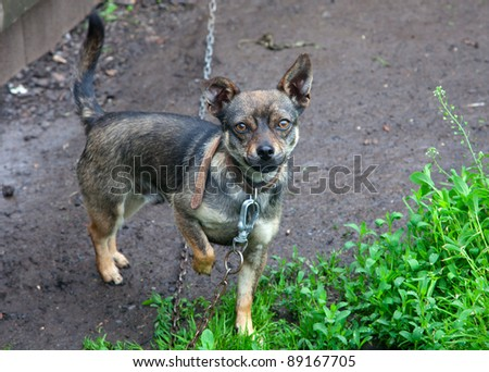 Small dog tied to a chain