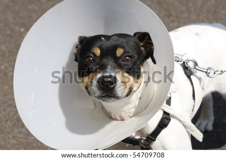Small dog wearing a cone after surgery