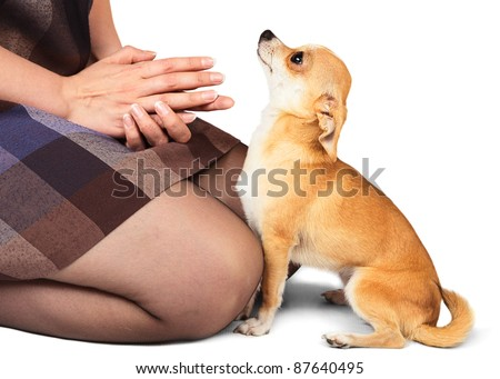 Small domestic dog Chihuahua looking to woman