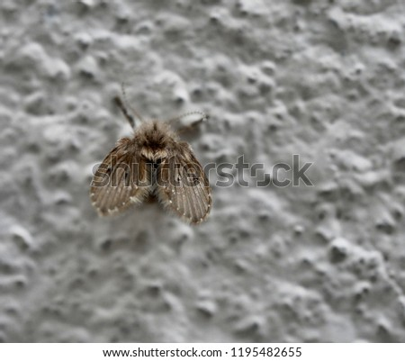 Small drain fly, sink fly or moth fly on wall background