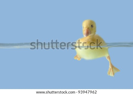Small duck floating on water isolated over blue background
