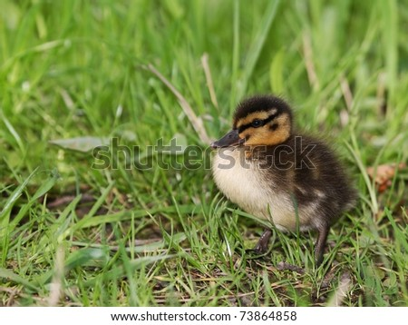 Small Duckling in the grass