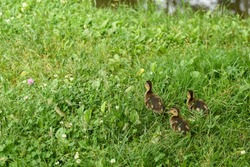 Small ducklings outdoor on green grass. Cute baby ducks marshing