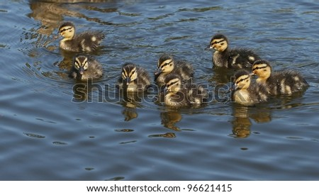 Small Ducklings swims on the surface of water. Spring.