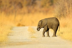 Small elephant without mother. Young African Elephant lost on the gravel road. Wildlife scene from Africa nature, Chobe, Botswana.