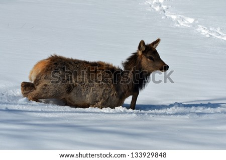Small Elk struggling in deep snow