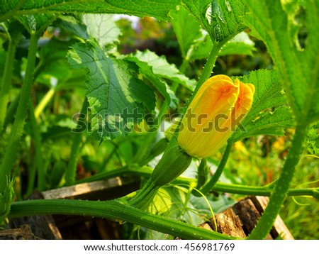 small emergent zucchini with a flower growing in garden