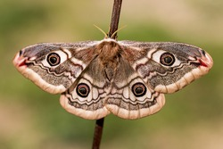 Small Emperor Moth (Saturnia pavonia) is a moth of the family Saturniidae, female, macro photo.