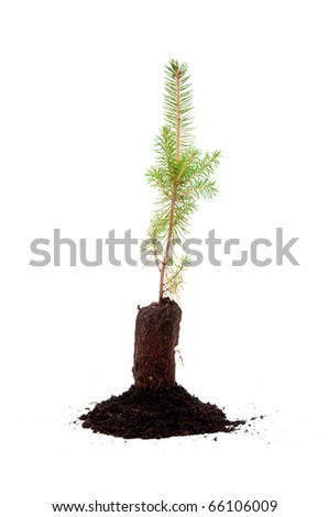 Small evergreen tree in soil ready for planting, over white background