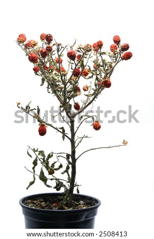 Small faded tree with red berries isolated on white