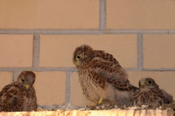 Small falcons. Kestrel Chicks against a brick wall. A brood of birds of prey. Nest of the common Kestrel. Chicks of a wild bird. Defenseless, small, fluffy birds. Near. Close-up.