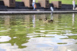 Small family of ducks with their mother spend time growing up. Birds swim on the lake in the park. Stock photo for design
