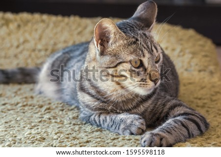 Small female cat resting on the carpet floor. She is watching with attention to its right.  She is lying on the carpet floor. Day sunlight is comming from behaind her. Indoor picture. Reus, Spain