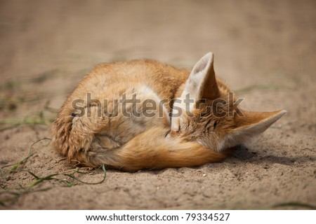 small fennec fox sleeping, cover with itself tail