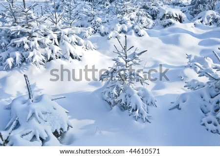 Small Fir Trees in Winter