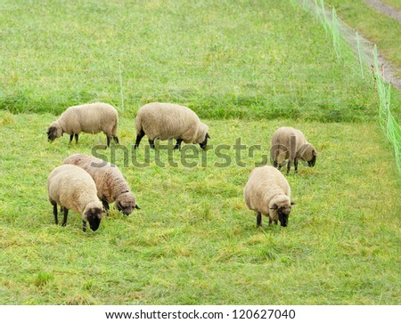 Small flock of sheep grazing in a pasture