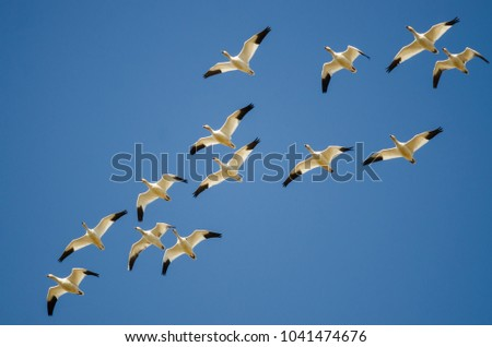 Small Flock of Snow Geese Flying in a Blue Sky #1041474676