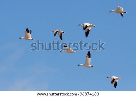 small flock of snow geese flying in formation