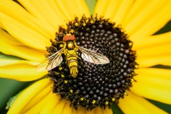 Small flower fly gathering pollen on a yellow rudbeckia flower with copy space