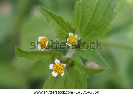 Small flowers of guasca or mielcilla or galinsoga or gallant soldier or quickweed or potato weed (Galinsoga parviflora) close up