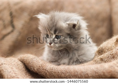 small, fluffy kitten and fur scarf. #1446075560