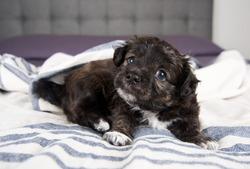 Small Fluffy Puppy Scratching on Gray Striped Blanket