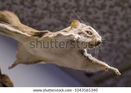 small flying squirrel #1043565340