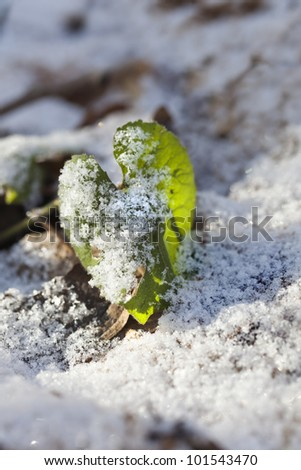 Small fragile leaf under the snow in february