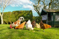 Small, free range flock of hens together with a cockerel, foraging for food in a large, private garden. An old Wendy house is seen, now used as a chicken coup. The birds are kept for there eggs.