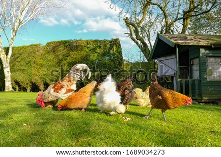 Small, free range flock of hens together with a cockerel, foraging for food in a large, private garden. An old Wendy house is seen, now used as a chicken coup. The birds are kept for there eggs. Photo stock ©