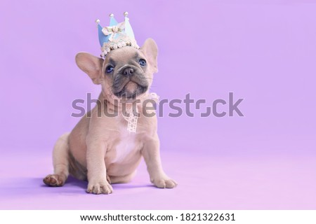Small French Bulldog dog puppy wearing a paper crown with lace and ribbons on purple packground with empty copy space Stok fotoğraf ©