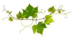 Small fresh branch of grape vine on white background