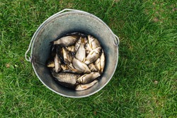 Small fresh fish catch in metallic pail on green grass. Top view