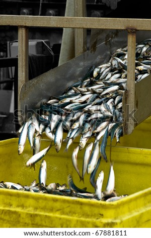 Small fresh fish slide down a chute and into a bucket