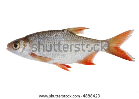 Small freshwater fish isolated on white stock photo Freshwater fish with red fins