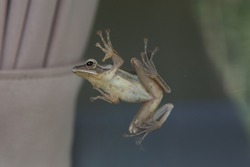 Small Frog on Glass window