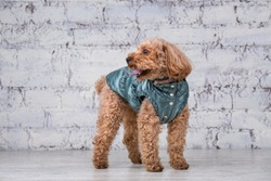 Small funny dog of brown color with curly hair of toy poodle breed posing in clothes for dogs. Subject accessories and fashionable outfits for pets. Stylish overalls, suit for cold weather for animal.