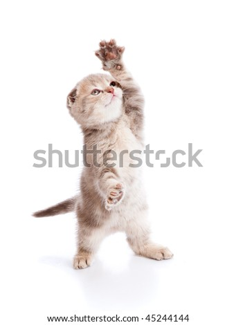 Small funny Kitten. Isolated on white background - stock photo