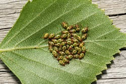 Small garden green bugs hatched on a leaf.A common pest that invades gardens and crops.