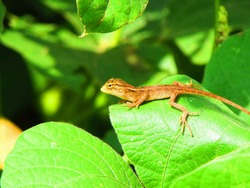 small garden lizard  resting on a green leaf.